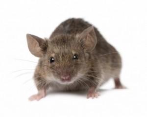 mice-1024x822-e1291365487475